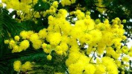 Tong-hop-hinh-anh-hoa-Mimosa-dep-nhat.jpg