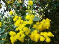 hoa-Mimosa-dep-nhat.jpg