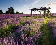 vuon-hoa-lavender-da-lat-focusasiatravel-3.jpg